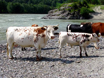 White cow with the calf. Royalty Free Stock Photo