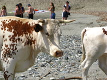 White cow with the calf. White Altay cow with the calf on river bank Stock Photography