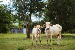 White cow with calf on a meadow Royalty Free Stock Image