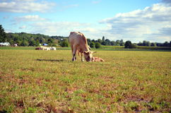 White cow with calf on the meadow Royalty Free Stock Photo