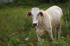 White cow. Cattle (colloquially cows) are the most common type of large domesticated ungulates. They are a prominent modern member of the subfamily Bovinae, are Royalty Free Stock Photo