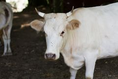 White cow close up stock photo