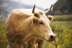 White cow in the countryside, Shanxi Province, China Royalty Free Stock Image