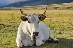 White Cow with cowbell. In a meadow in Italy stock images