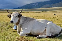 White Cow with cowbell. In a meadow in Italy stock image