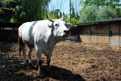 White cow in a cowshed Stock Images