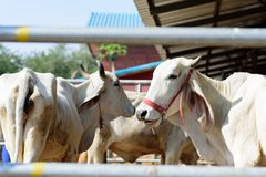 White cow in a cowshed. Portrait of white cow in a cowshed, livestock in Thailand Stock Photos