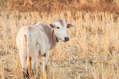 White cow and dry grass cattle on the farm in rural ,thailand Royalty Free Stock Photo