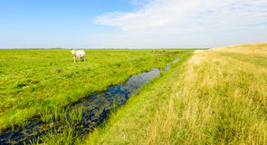 White cow in a Dutch nature reserve Stock Image