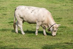 White cow in Dutch pasture Stock Photos