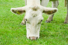 White cow eating grass Stock Photo