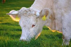 White Cow Eating Green Grass stock photography