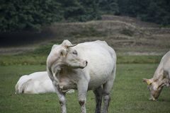 A white cow in front of the camera Royalty Free Stock Photo