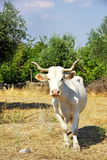 White cow in field. Royalty Free Stock Photos