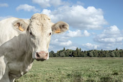 White cow in a field Royalty Free Stock Photography