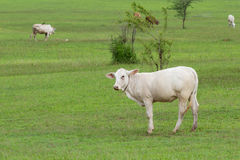 White cow. Cow in a fresh green field Royalty Free Stock Photos