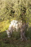 White cow grazes under olive tree with blue sea in the backgroun Stock Images