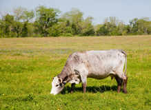 White cow grazing Stock Photos