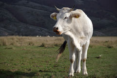 A white cow grazing. Adult cattle, bred Italian Stock Image