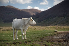 A white cow grazing. Adult cattle, bred Italian, Marche Royalty Free Stock Photography