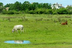 Free White Cow Grazing And Its Reflection On A Water Puddle Stock Images - 113643984