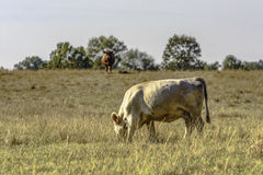 White cow grazing dormant grass Royalty Free Stock Photos