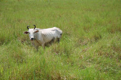 White cow in grazing field Royalty Free Stock Photos