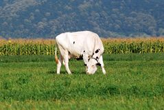 White Cow grazing on field Royalty Free Stock Photos