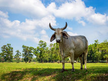 White cow grazing in a fresh green field in shadow of tree Royalty Free Stock Images
