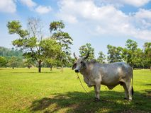 White cow grazing in a fresh green field in shadow of tree Stock Photography