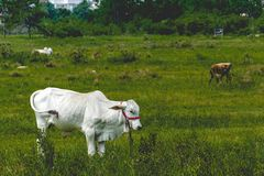 White cow grazing on a grass field royalty free stock photo
