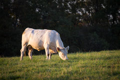 White cow grazing on a green field Royalty Free Stock Images