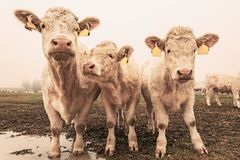 White cow on grazing in the morning autumn fog royalty free stock photo