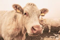 White cow on grazing in the morning autumn fog stock photography