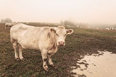 White cow on grazing in the morning autumn fog stock photo
