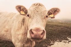 White cow on grazing in the morning autumn fog stock image