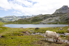 White cow grazing in the mountain near a lake in Ayous Lakes. Pyrenees, France Stock Photo