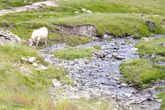 White cow grazing near a brook in summer. With the field full of green grass Stock Photo