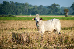 White cow grazing in open pasture Stock Image