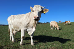 white cow on green agriculture field Royalty Free Stock Photography