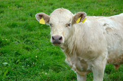 White cow. On a green field background in Ireland Royalty Free Stock Photos