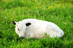 White cow on green grass, summer Royalty Free Stock Image
