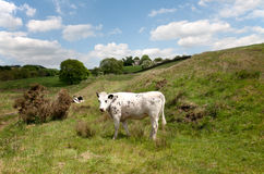 White cow on a green pasture Stock Photography