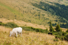 White cow on the highland meadow Royalty Free Stock Photo