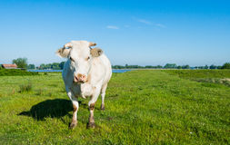 White cow with horns in a sunny meadow Royalty Free Stock Photos