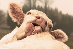 White cow licking cow on grazing in the morning autumn fog stock photo
