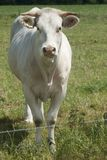 White cow looing to camera Stock Photography