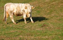 White cow Royalty Free Stock Photos