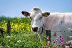 White Cow Looking Over Fence. Royalty Free Stock Photo