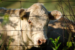 White Cow Looking Through Wire Fence. Closeup of the face and head of a white cow looking through a wire fence Stock Images